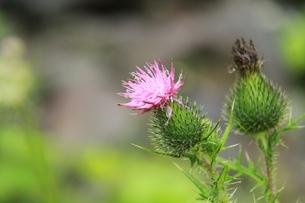 北海道に咲くアメリカオニアザミの写真素材 [FYI00378131]