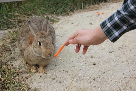 にんじんを見つめるウサギさんの写真素材 [FYI00378381]