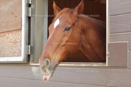 厩舎の窓から顔を出す馬さんの素材 [FYI00378389]
