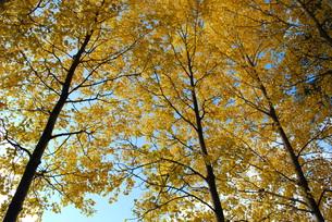 ヤマナラシの黄葉の写真素材 [FYI00378490]