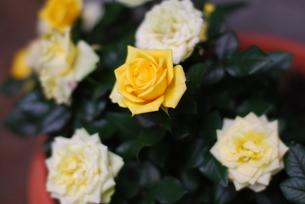 バラの鉢植えの写真素材 [FYI00378502]