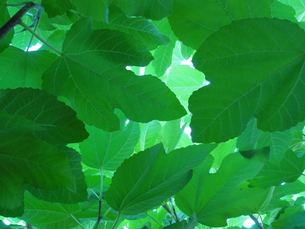 イチジクの葉「陽光」の写真素材 [FYI00378532]
