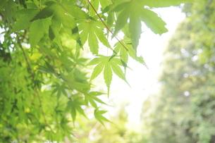 もみじ/緑/自然/公園/紅葉の写真素材 [FYI00378537]