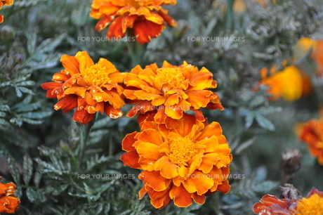花/オレンジ/マリーゴールドの写真素材 [FYI00378552]