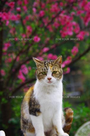 ミケ猫と桃の木の写真素材 [FYI00378628]