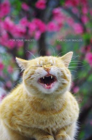 悲しい顔の猫の写真素材 [FYI00378634]