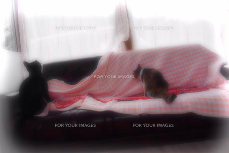 ミケ猫と黒猫の写真素材 [FYI00378641]