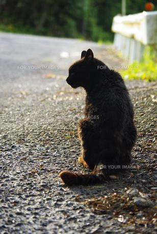 黒猫の後ろ姿の写真素材 [FYI00378653]