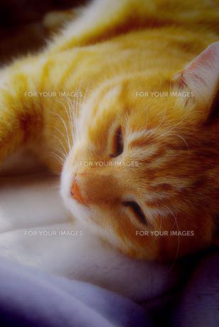 お昼寝中のネコの写真素材 [FYI00378703]