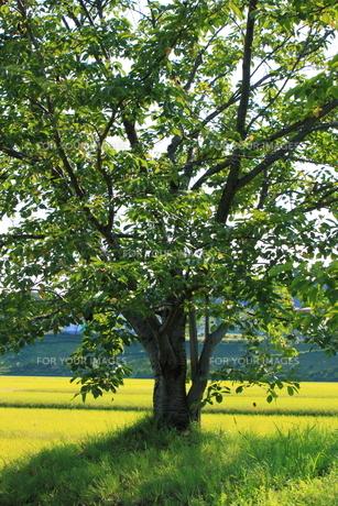 黄金色のたんぼと大きな木の素材 [FYI00378734]