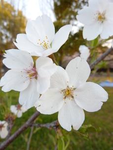 2011の桜の写真素材 [FYI00378847]
