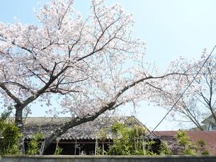 満開の桜の写真素材 [FYI00378849]