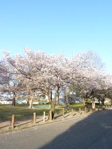 青空の下は満開の桜の写真素材 [FYI00378856]