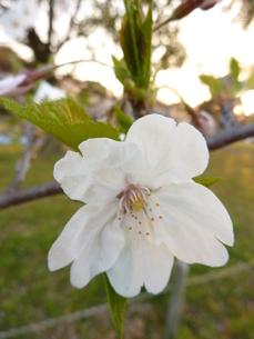 2011、桜の写真素材 [FYI00378868]