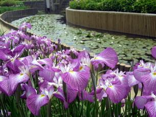 紫色の花しょうぶの写真素材 [FYI00378871]