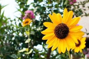 夏の向日葵の写真素材 [FYI00378875]