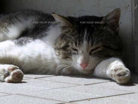 昼寝する猫の写真素材 [FYI00378877]