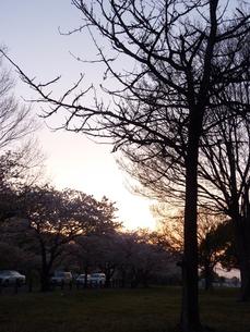 木の陰と桜と夕日の写真素材 [FYI00378880]