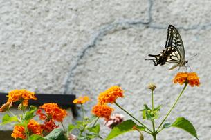 アゲハチョウと花の写真素材 [FYI00378907]