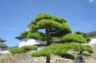 大阪城の松の写真素材 [FYI00378924]