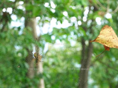 ジョロウグモと落ち葉の写真素材 [FYI00379013]