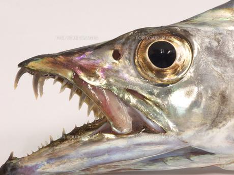 太刀魚のアップの写真素材 [FYI00379020]