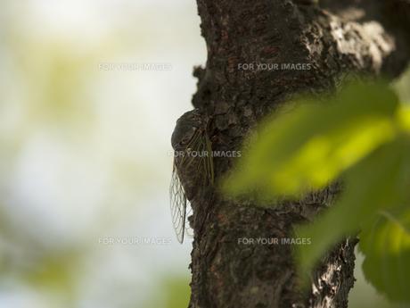 木陰のセミの素材 [FYI00379026]