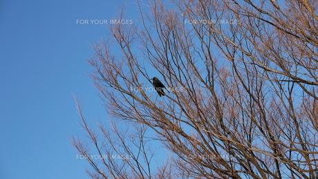 枯れ木にカラスの写真素材 [FYI00379028]