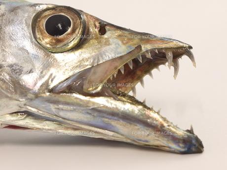 太刀魚のアップの写真素材 [FYI00379037]
