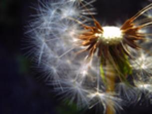 タンポポの綿毛の写真素材 [FYI00379039]