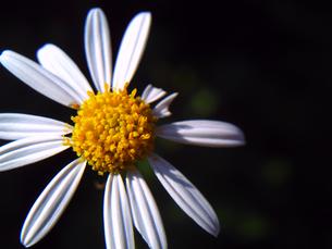 白い花一輪の写真素材 [FYI00379045]