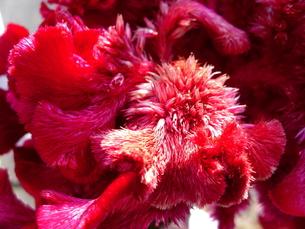 赤い花のアップの写真素材 [FYI00379078]