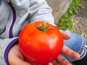 トマトを持つ手の写真素材 [FYI00379091]