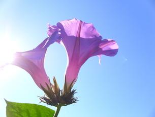 紫の朝顔の写真素材 [FYI00379092]