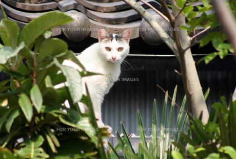 ちょっぴり耳を囓られちゃってる野良猫君の写真素材 [FYI00379148]