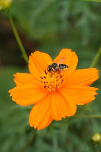 秋桜と花蜂の素敵な関係の写真素材 [FYI00379152]