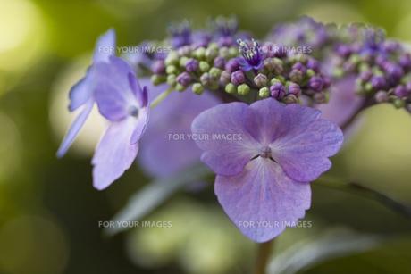 稟と咲く紫陽花の素材 [FYI00379154]