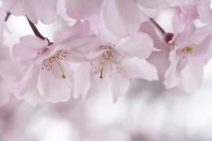 日本のやわらかな春色(枝垂れ桜/マクロ撮影)の写真素材 [FYI00379164]