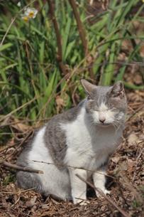 うたたね猫の写真素材 [FYI00379188]
