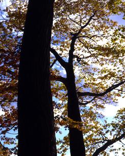 仰ぎ見る木の写真素材 [FYI00379303]
