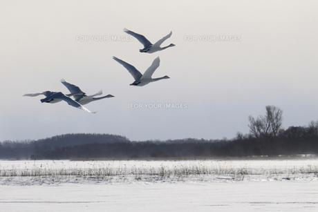 北海道 白鳥公園 濤沸湖 オオハクチョウの写真素材 [FYI00379351]