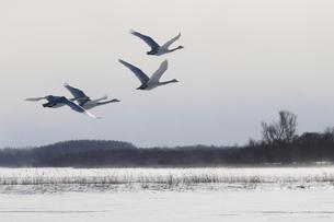 北海道 白鳥公園 濤沸湖 オオハクチョウの素材 [FYI00379351]