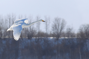 北海道 白鳥公園 濤沸湖 オオハクチョウの素材 [FYI00379352]