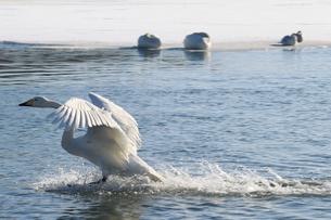 北海道 白鳥公園 濤沸湖 オオハクチョウの素材 [FYI00379358]