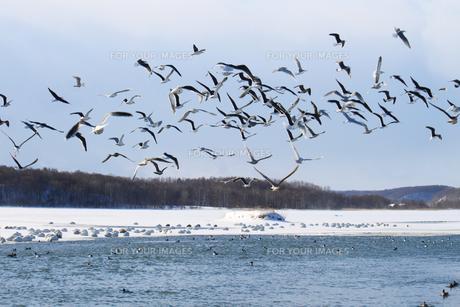 白鳥公園 濤沸湖 カモメ 群れ 雪景色の素材 [FYI00379361]