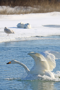 北海道 白鳥公園 濤沸湖 オオハクチョウの素材 [FYI00379362]