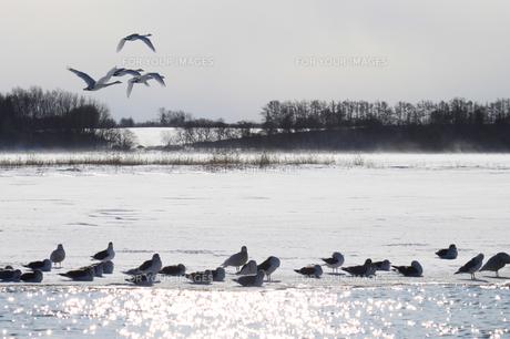 北海道 白鳥公園 濤沸湖 オオハクチョウ カモメの素材 [FYI00379365]