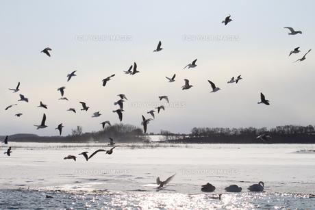 白鳥公園 濤沸湖 カモメ 群れ 雪景色の素材 [FYI00379366]