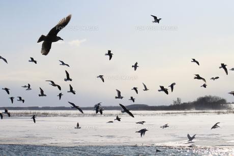 白鳥公園 濤沸湖 カモメ 群れ 雪景色の素材 [FYI00379367]