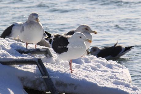 白鳥公園(濤沸湖)のオオセグロカモメの素材 [FYI00379368]
